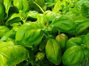 Beneficial-Insects-Wenger's-Greenhouse