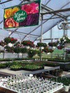 Roses-Wenger's-Greenhouse-Ephrata