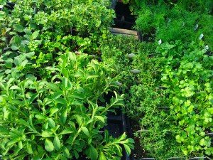 Wenger's-Greenhouse-Herbs