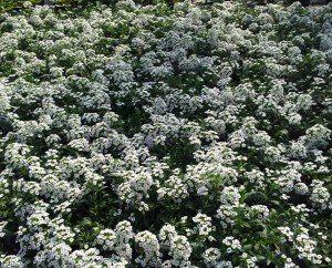 White-Flowers-Wenger's-Greenhouse-Ephrata
