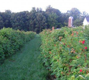 Brecknock-Raspberries