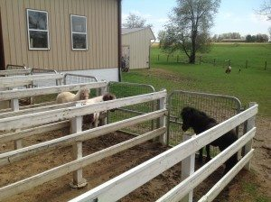 Lil' Country Store & Miniature Horse Farm horses