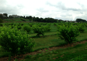 kissel hill orchard fruit