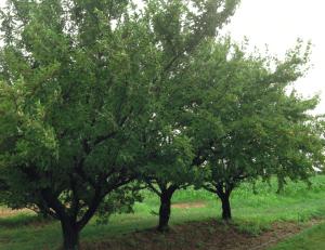 kissel hill fruit farm trees