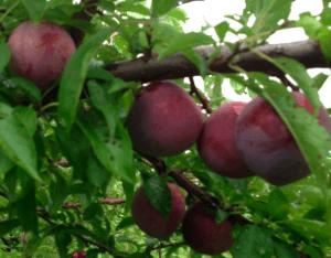 kissel hill plums
