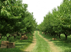 Kauffman's Fruit Farm Apple Orchard