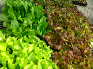 Greenland Supplies Greenhouse lettuce