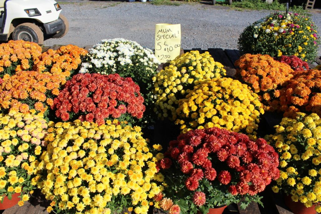 Dogwood Farm Market Reinholds Lancaster County PA Mums & Fall Varieties