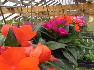Funk's Riverview Greenhouses Washington Boro PA Lancaster County flowers gardens plants tomatoes 8