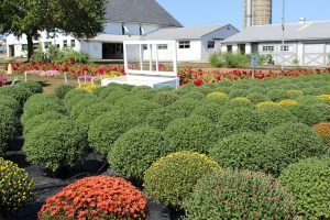 Conestoga Valley Greenhouse Mums Fall flowers Harvest Decorations