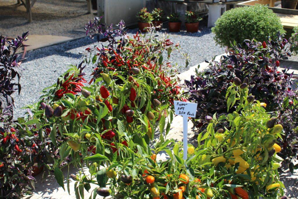 Conestoga Valley Greenhouse Mums Fall flowers Harvest Decorations