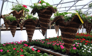 Mount Joy Greenhouse hanging baskets 5