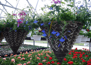 Mount Joy Greenhouse hanging baskets 7