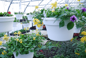 Mount Joy Greenhouse hanging baskets 8
