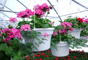 Mount Joy Greenhouse hanging baskets 10