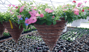 Mount Joy Greenhouse hanging baskets 11