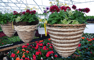 Mount Joy Greenhouse hanging baskets 12