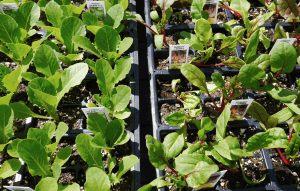 Hill Farm Greenhouse vegetable starts 1
