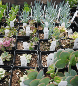 Hill Farm Greenhouse Succulents 1