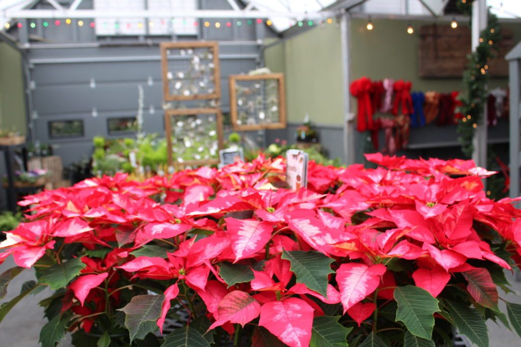 Frey's Greenhouse Lancaster County PA Locally Owned Family Operated perennials vegetables herbs shrubs deck patio accents hidden gem green thumb Columbia Avenue Reallancastercounty springtime summer mums fall harvest springtime christmas poinsettias decor trees