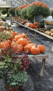 Shirk's Produce Farm Market Lancaster County PA Narvon Local Family Owned Mums & Fall Harvest Varieties