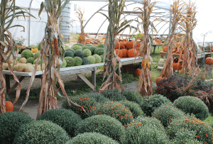 Sensenig's Produce & Flowers Lancaster county pa Farm to Table Locally Owned Family Operated Mums & Fall Harvest Varieties
