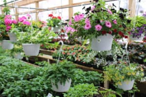 Hidden Acres Greenhouse family owned family operated hidden gem full-service garden center destination flowers annuals perennial plants vegetable seeds gardening supplies hanging baskets starter plants deck planters