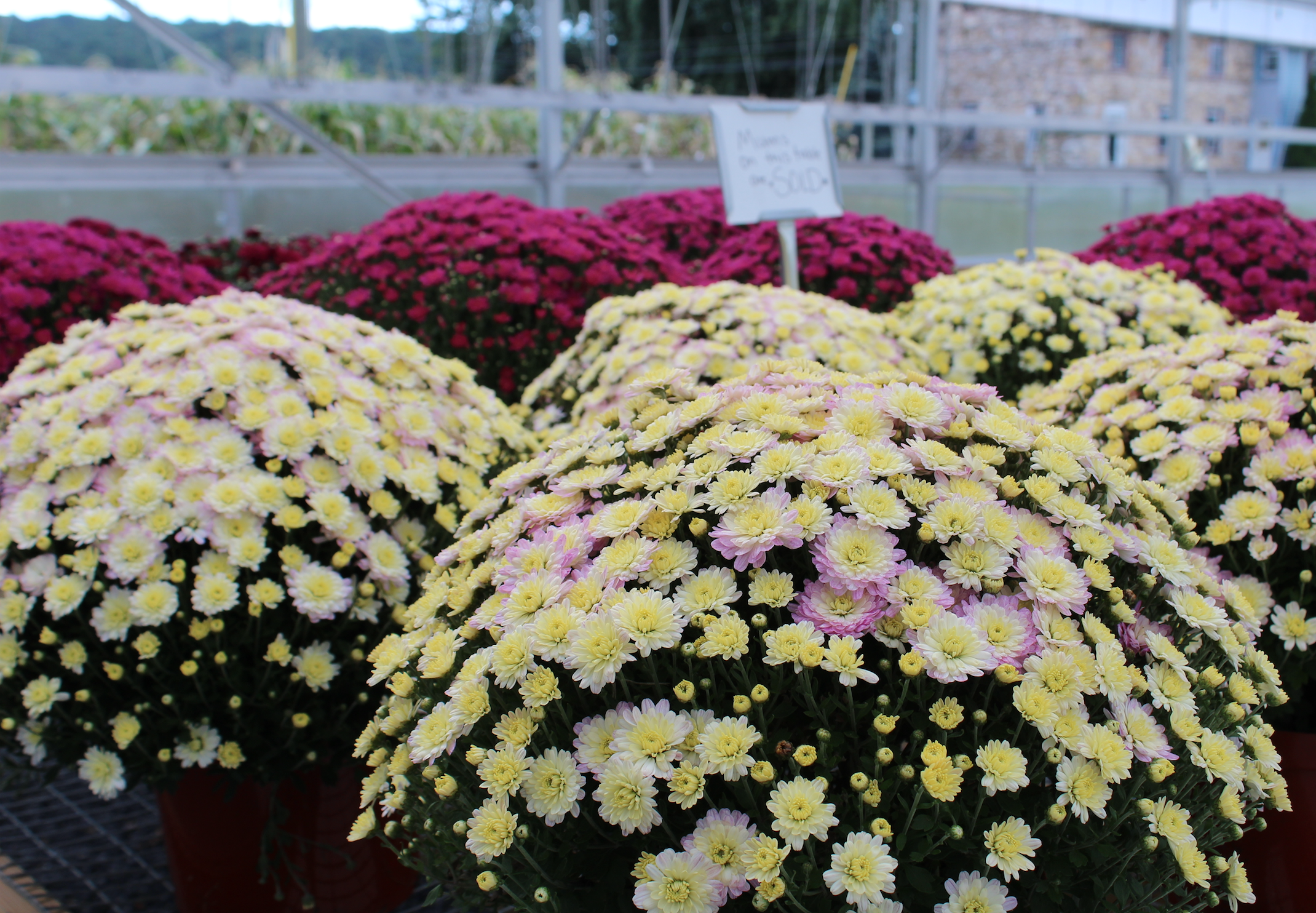 Mums & Fall Harvest Decorations Lancaster County Greenhouses & Garden Centers