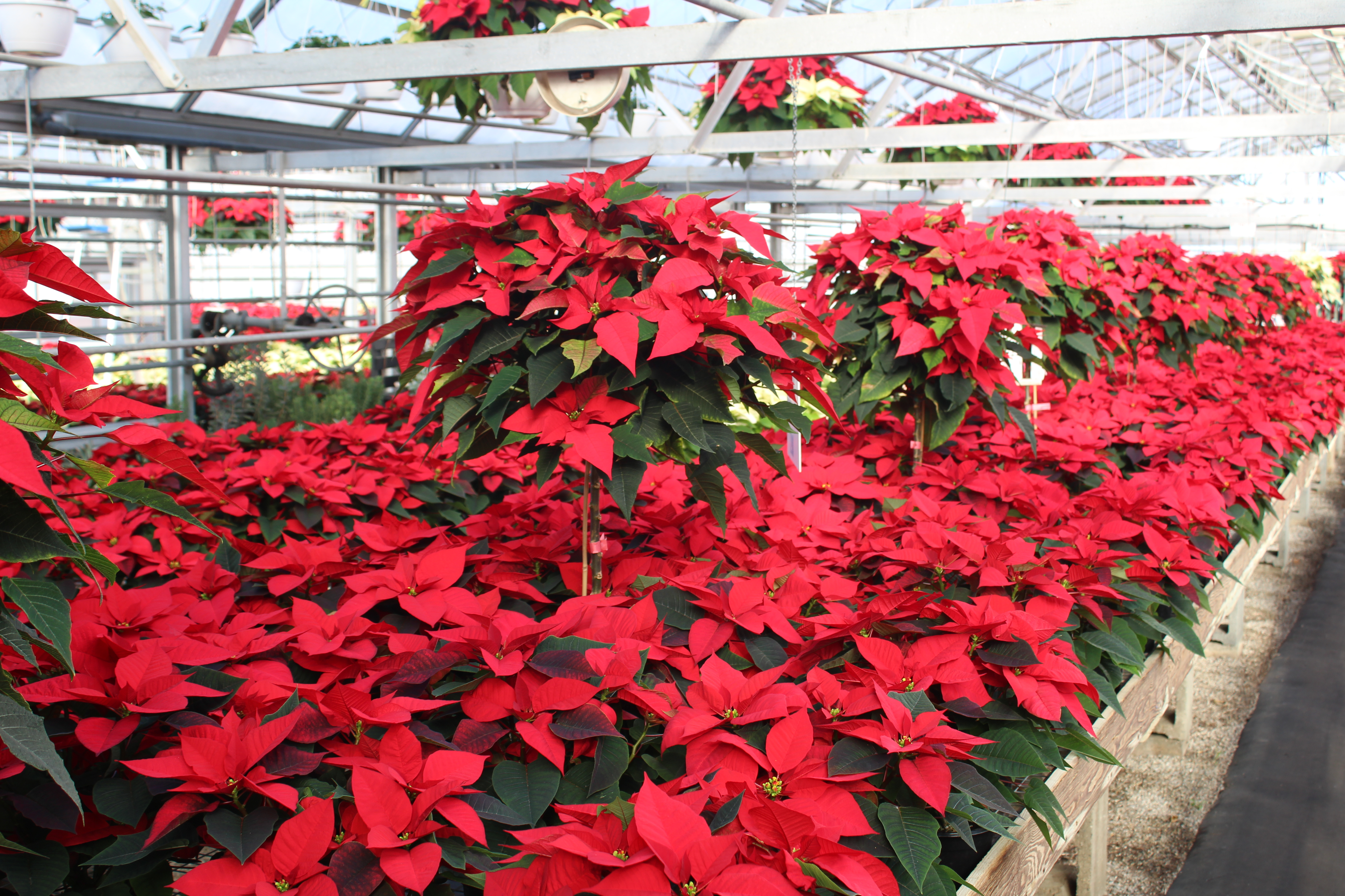 Willow Brook Greenhouse Family Owned & Operated Route 10 flower varieties plants garden supply flowers Home & Garden poinsettias pansies bedding plants Christmas season vegetable plants frames boxes succulents pots fertilizers locally owned tomatoes