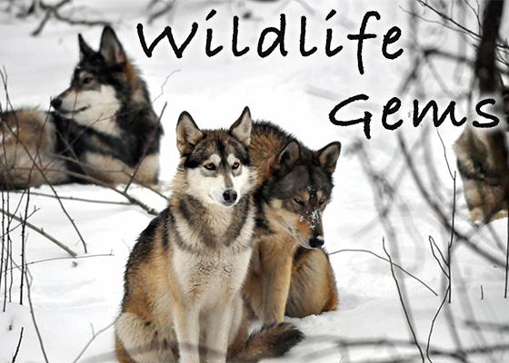 7.6.17 Wildlife Gems Sidebar