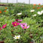 Growing Native Plants in Lancaster County PA, Buying at Local Greenhouses